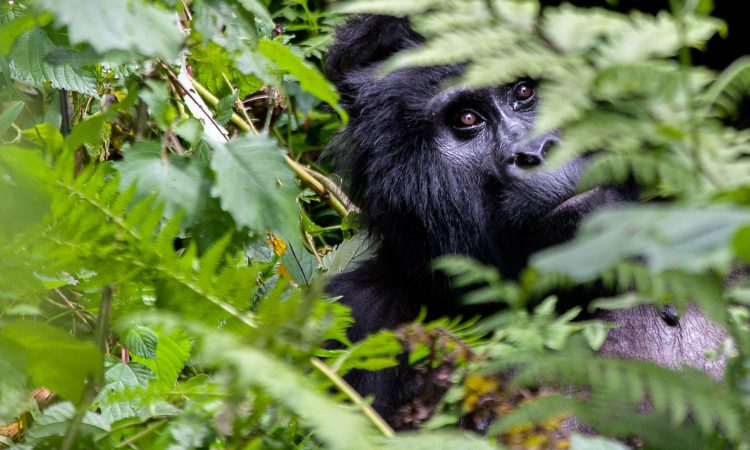 5 Days Bwindi Gorilla Trekking