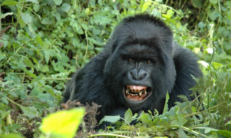 5 Days Flying Gorilla Safari Bwindi