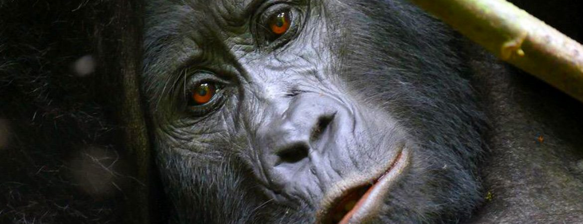 Benefits of gorilla tourism to the local communities in Bwindi