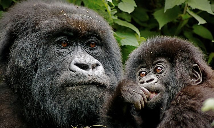 18% increase of mountain gorillas in the virunga massif