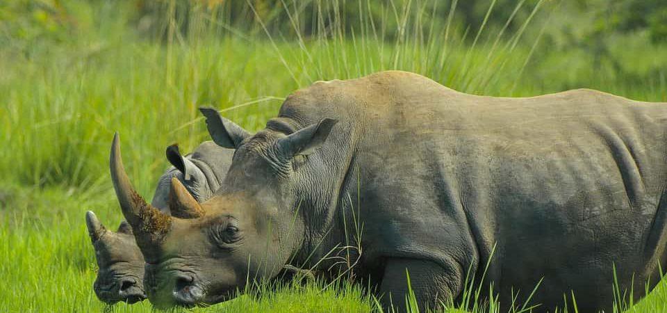 1 Day Ziwa Rhino Trekking Safari