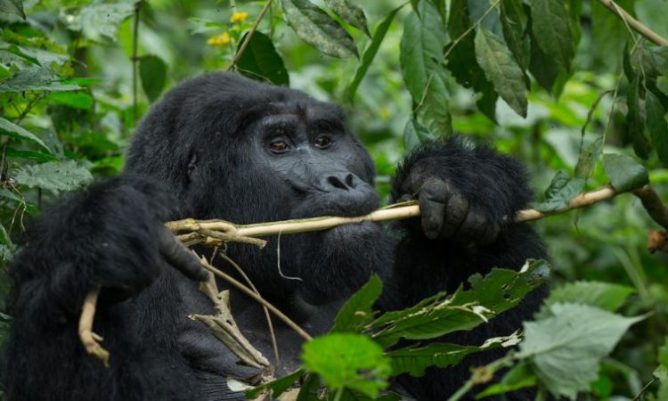 10 Days Gorilla Trekking & Wildebeest Migration