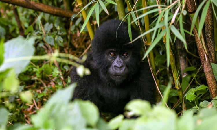 2 Days Virunga Gorilla Safari from Kigali