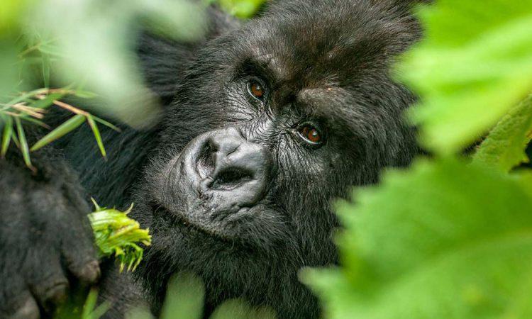 3 Days Kigali to Bwindi Gorilla Trekking