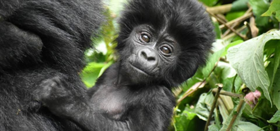 5 Days Bwindi Gorillas & Wildlife Safari from Kigali