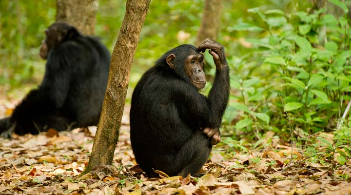 5 Days Uganda Chimpanzee & Wildlife Safari