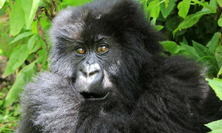 7 Days Bwindi Gorilla Trekking & Serengeti Wildlife Safari