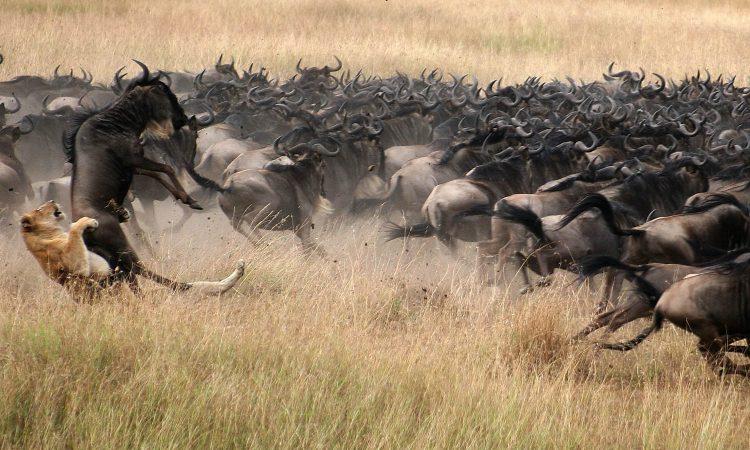 4 Days Maasai Mara Wildlife Safari